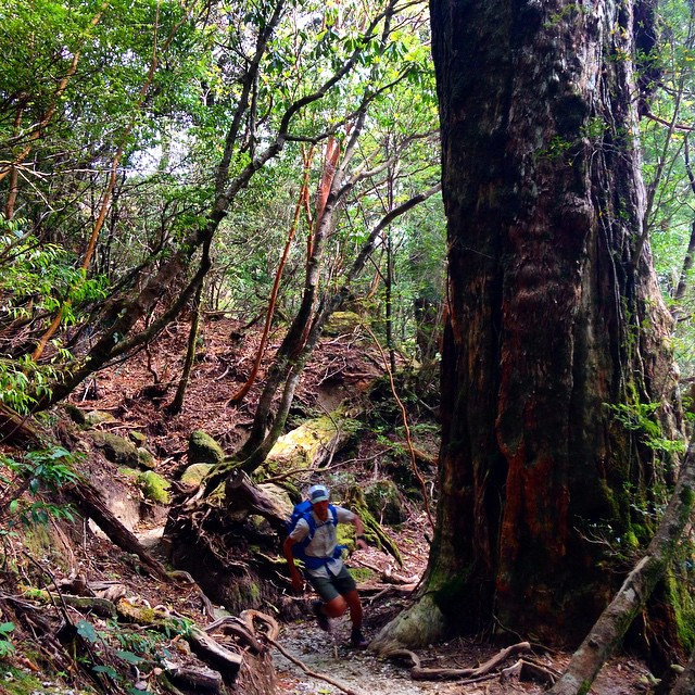 巨木の森を走る。 Running through Yakushima forest. Runner: Hiroki  #yakushima #fastpacking #trailrunner