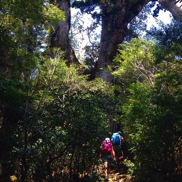 Yakushima forest #yakushima